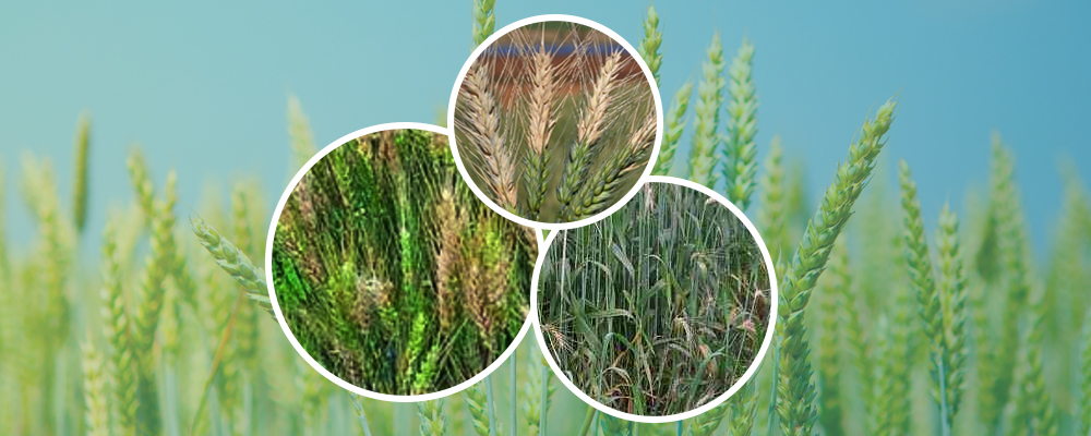 Wheat blast disease – the new enemy knocking at our doors?
