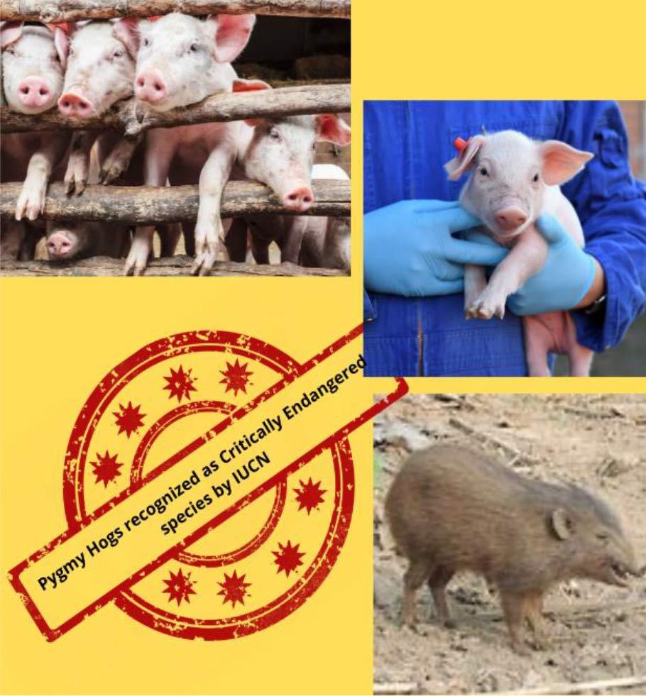 African Swine Fever